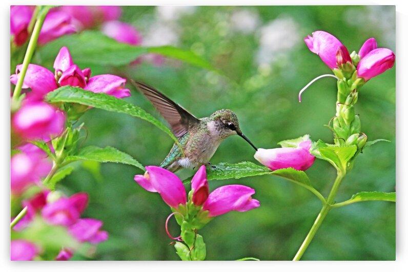 Hummingbird Landing On Dewy Leaf by Deb Oppermann