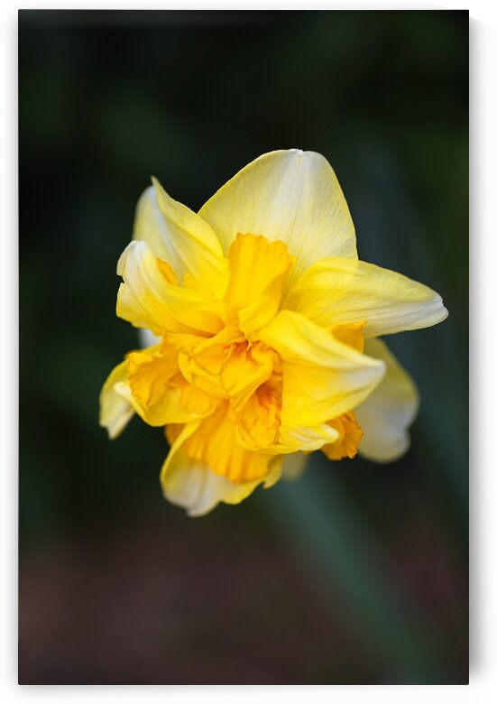 Double Daffodil Yellow by Joy Watson