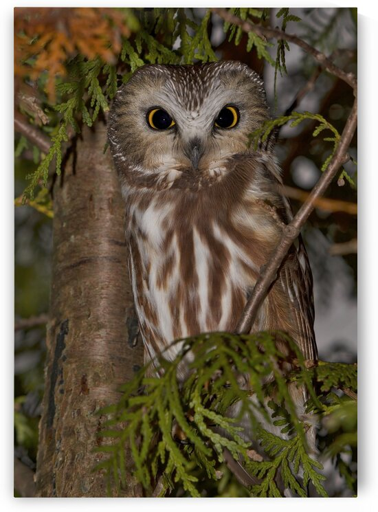 saw-whet by Chris Seager