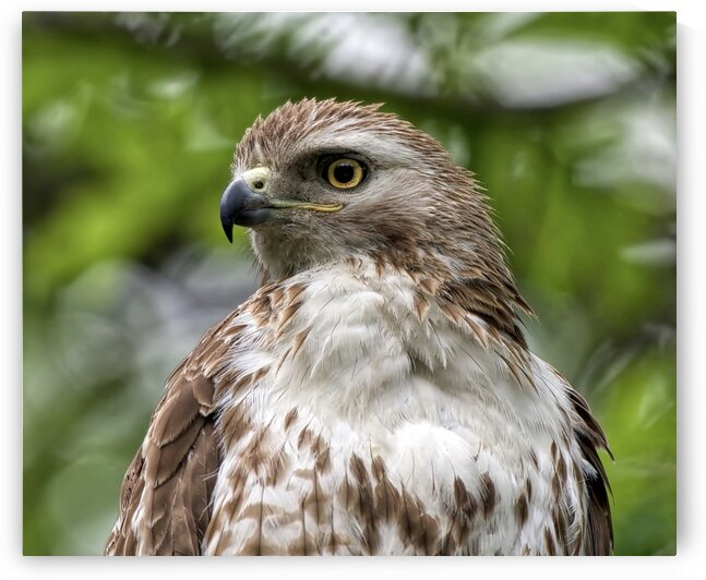 Red Tail  by Chris Seager