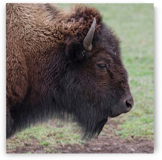 Bison profile by Chris Seager