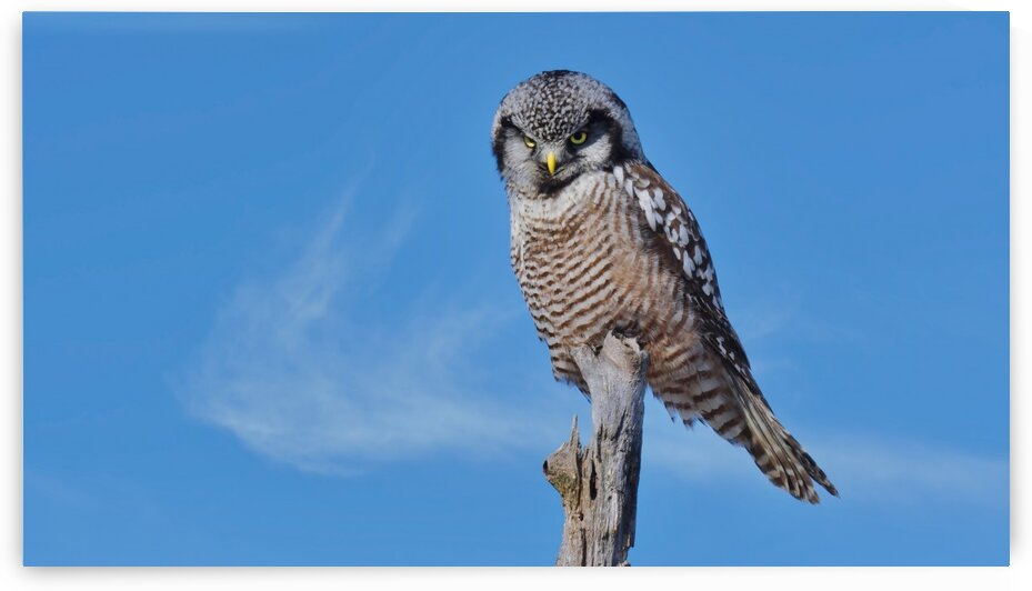 Hawk Owl by Chris Seager