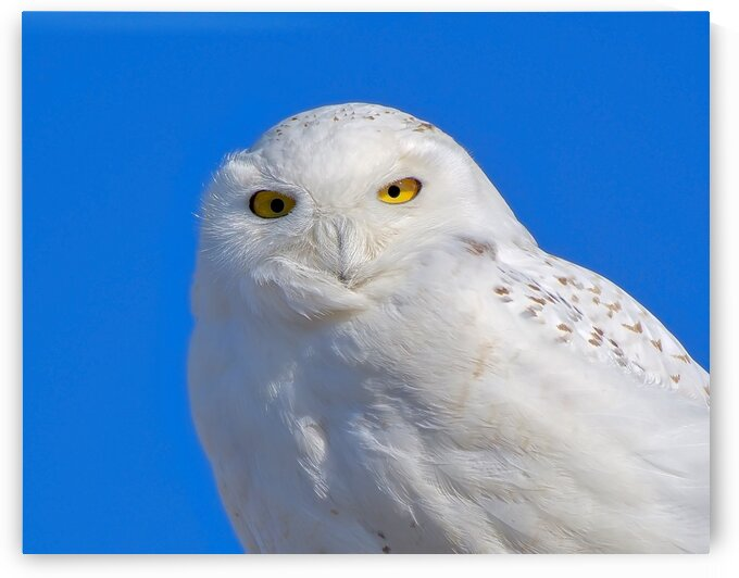 Snowy on Blue by Chris Seager