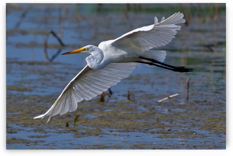 Flight of the Great Egret by Chris Seager