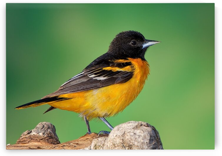 Baltimore Oriole portrait by Chris Seager