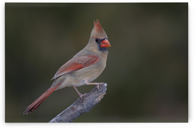 Female Northern cardinal by Chris Seager