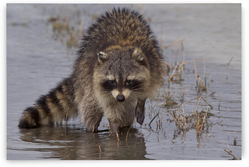 Rocky Raccoon by Chris Seager