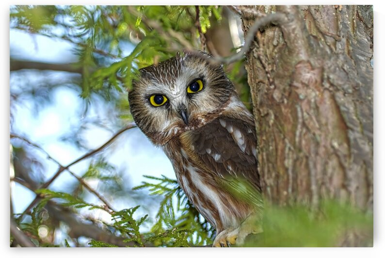 Saw whet Owl by Chris Seager