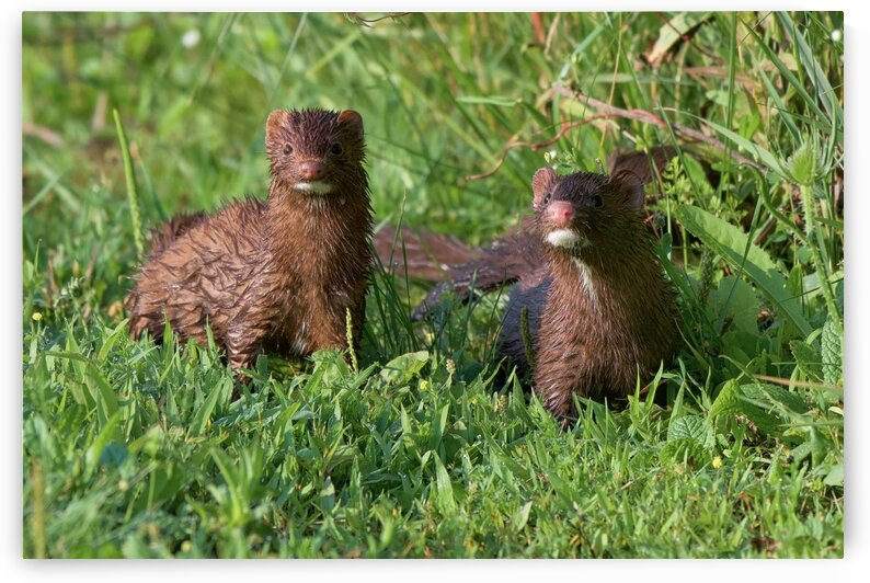 American Minks by Chris Seager