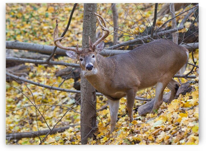 Buck in Rut by Chris Seager