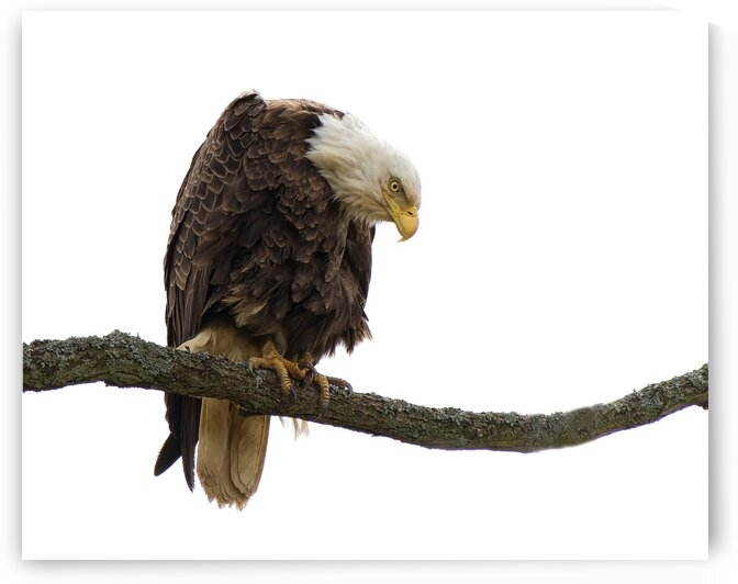 Bald Eagle by Chris Seager