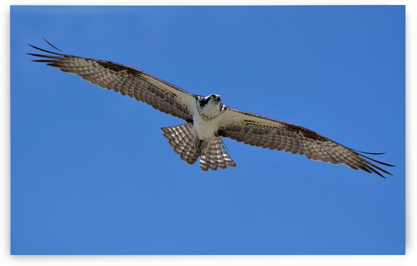 Osprey Flight by Chris Seager