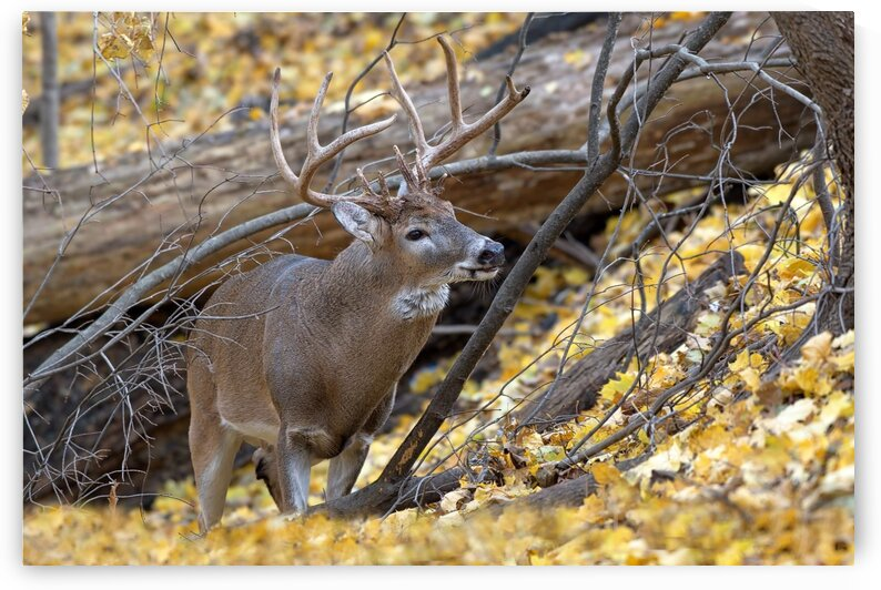 White Tail Buck by Chris Seager