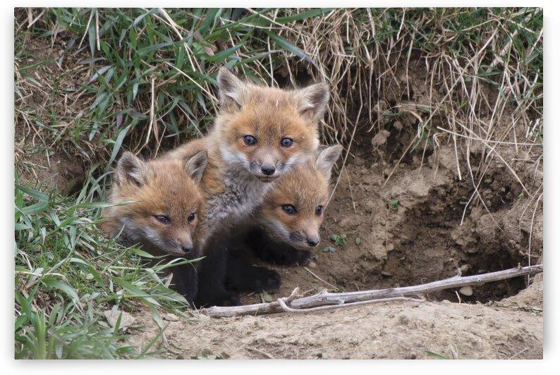 Fox Kits at Den by Chris Seager