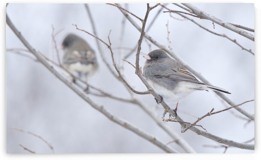 Double Junco by Chris Seager