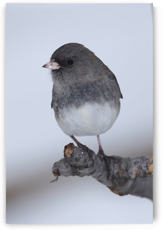 Dark eyed Junco by Chris Seager
