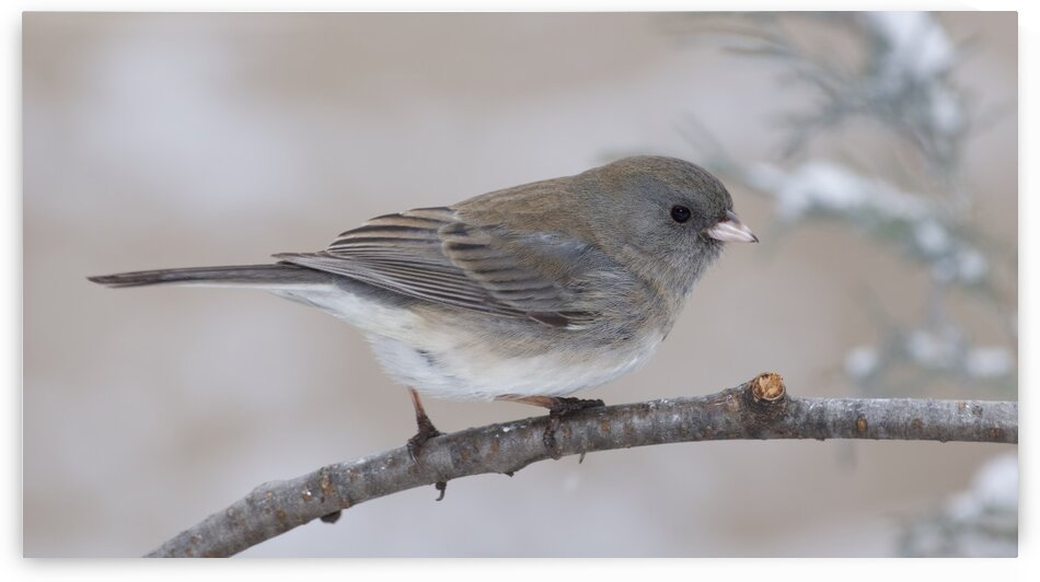 Junco by Chris Seager