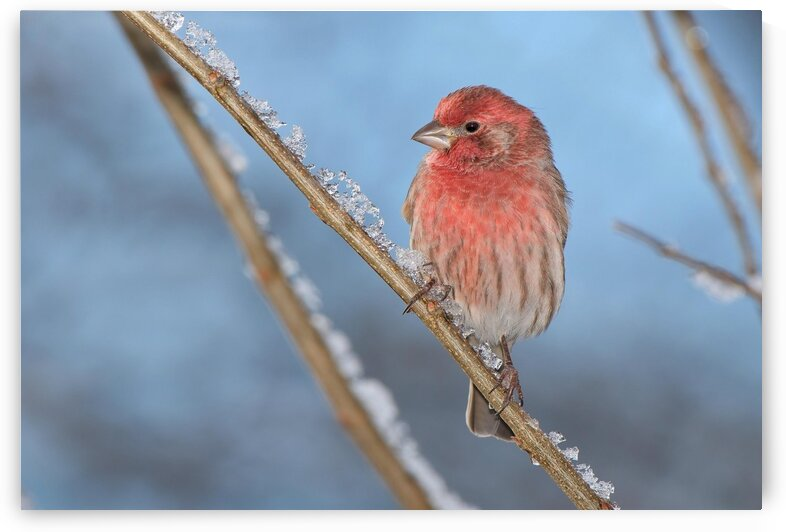 Finch by Chris Seager