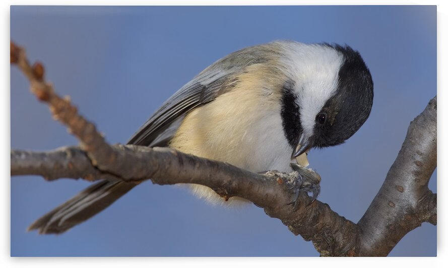 Black capped Chickadee by Chris Seager