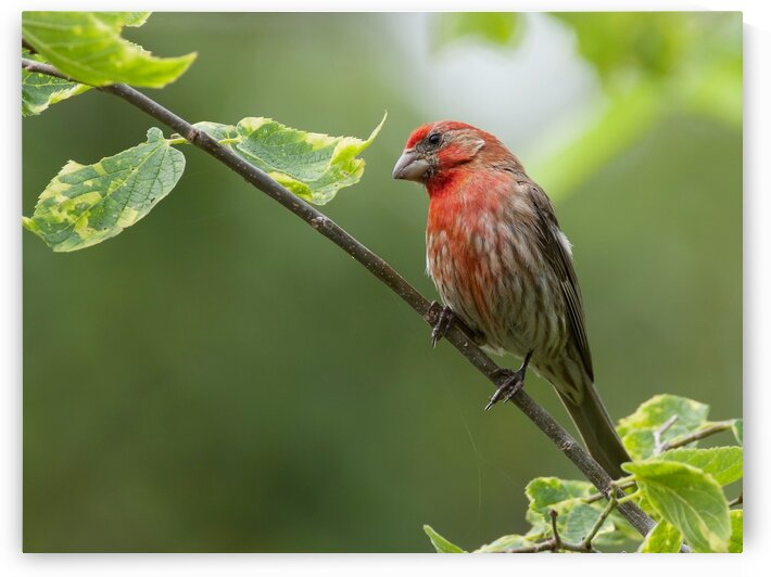 House Finch by Chris Seager