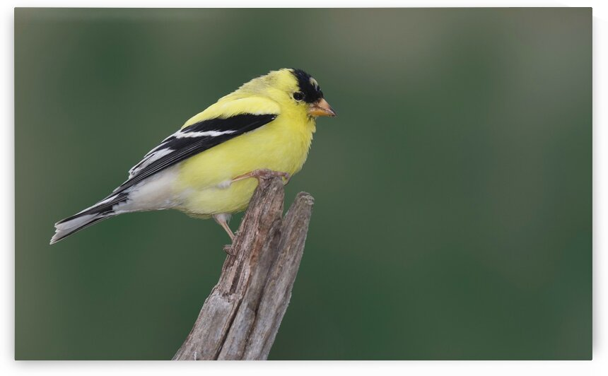American Goldfinch by Chris Seager
