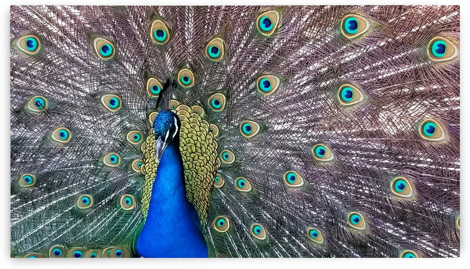 Male Peacock with Flared Tail by Creative Endeavors - Steven Oscherwitz