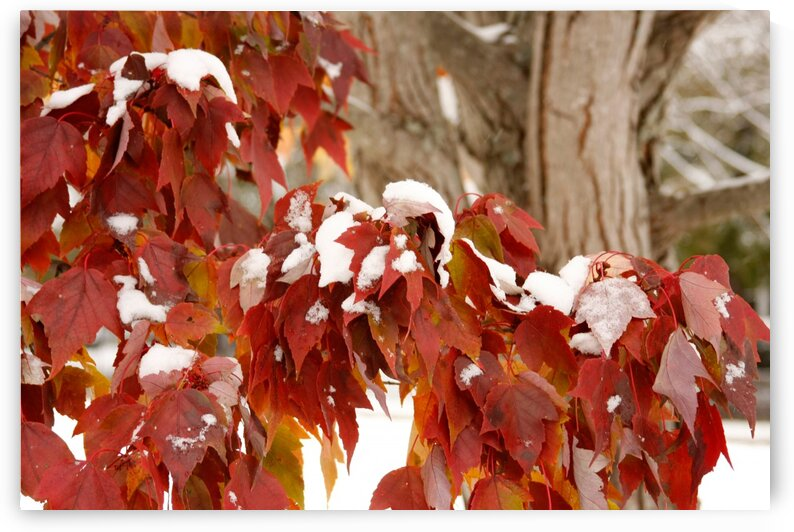 Fall Colors with Snow  by CreationLife Me