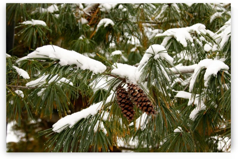Pinecone in the Snow  by CreationLife Me