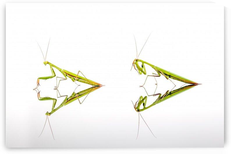 Two green Mantis by Marcel Derweduwen