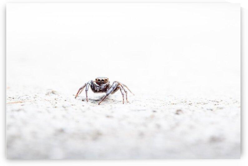 An Jumping spider by Marcel Derweduwen
