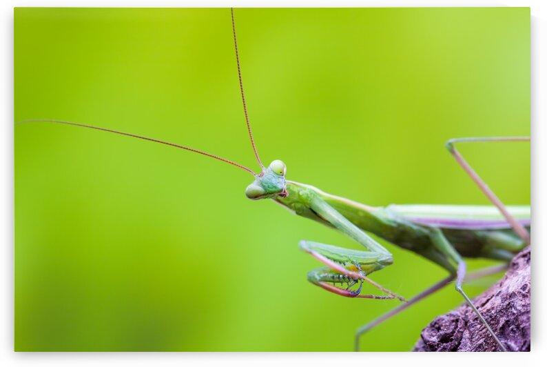 An green Mantis by Marcel Derweduwen