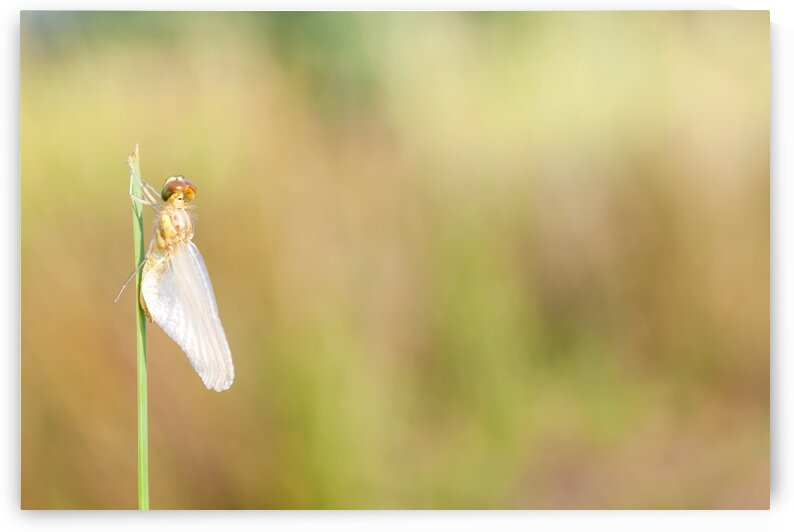 an Fire dragonfly by Marcel Derweduwen