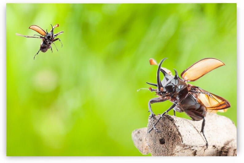 Eupatorus gracilicornis or Hercules beetles by Marcel Derweduwen