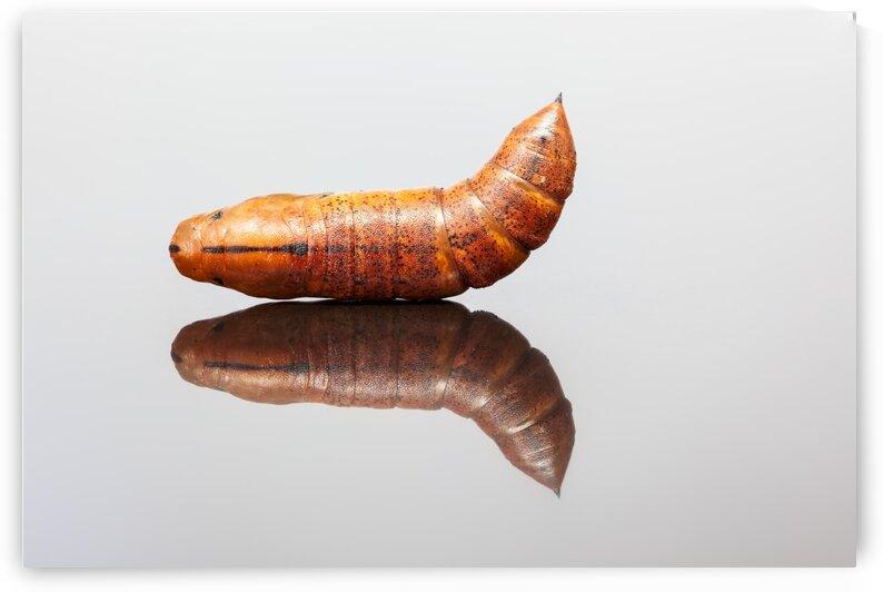 Larva of an Elephant Hawk-moth by Marcel Derweduwen