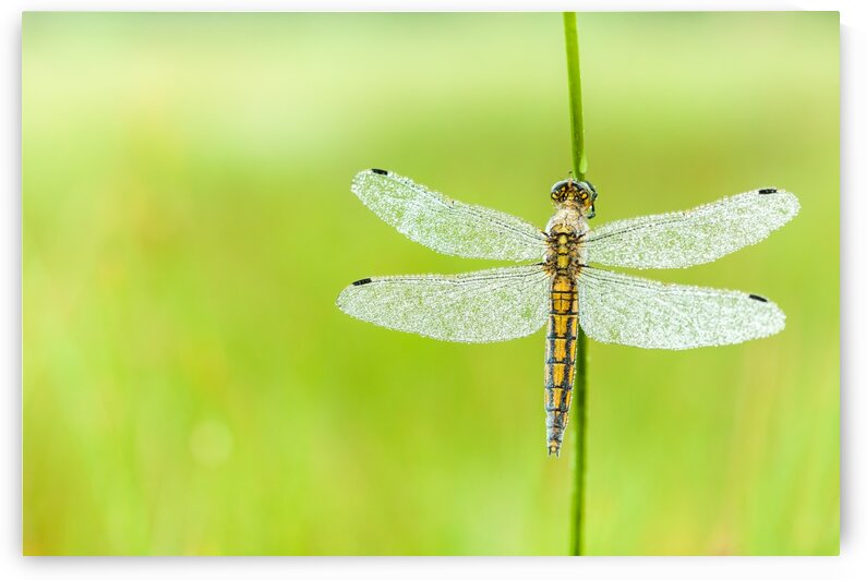 An Fire dragonfly by Marcel Derweduwen