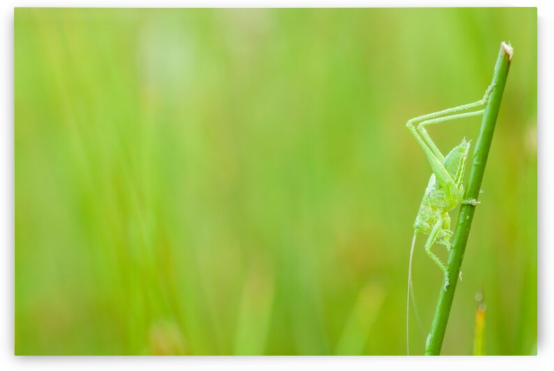 An green grasshopper by Marcel Derweduwen
