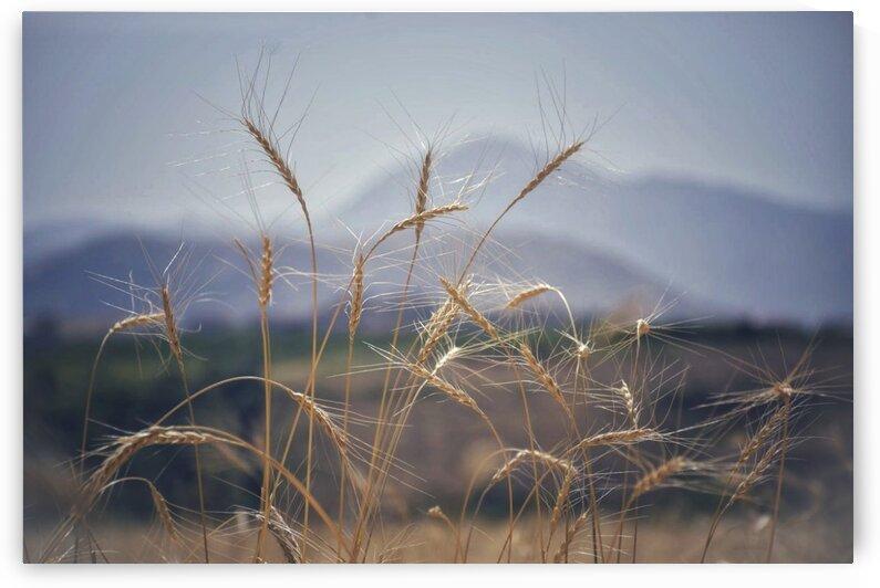 Wheats by Arash Azarm