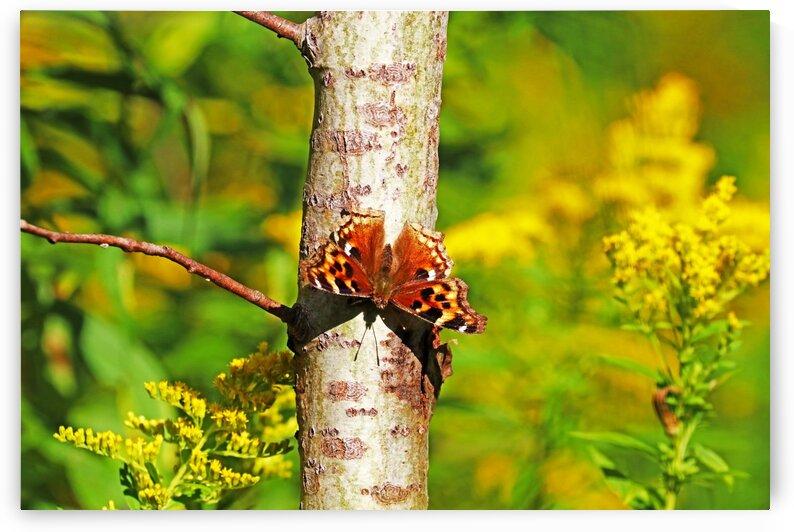 Compton Tortoiseshell Butterfly by Deb Oppermann