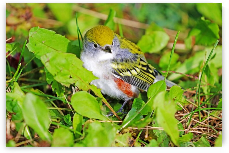 Chestnut Sided  Warbler In Grass by Deb Oppermann