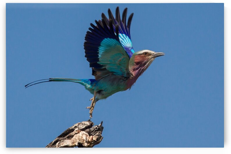 LILAC-BREASTED ROLLER by Andrew Harvey