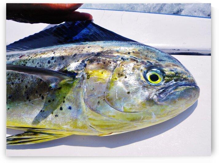 Dorado Fish by Creative Endeavors - Steven Oscherwitz