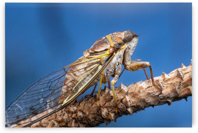Cicada  by MACRO HOBBY MIAMI