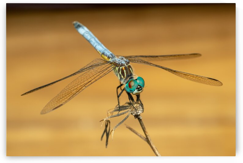 Dragonfly by MACRO HOBBY MIAMI