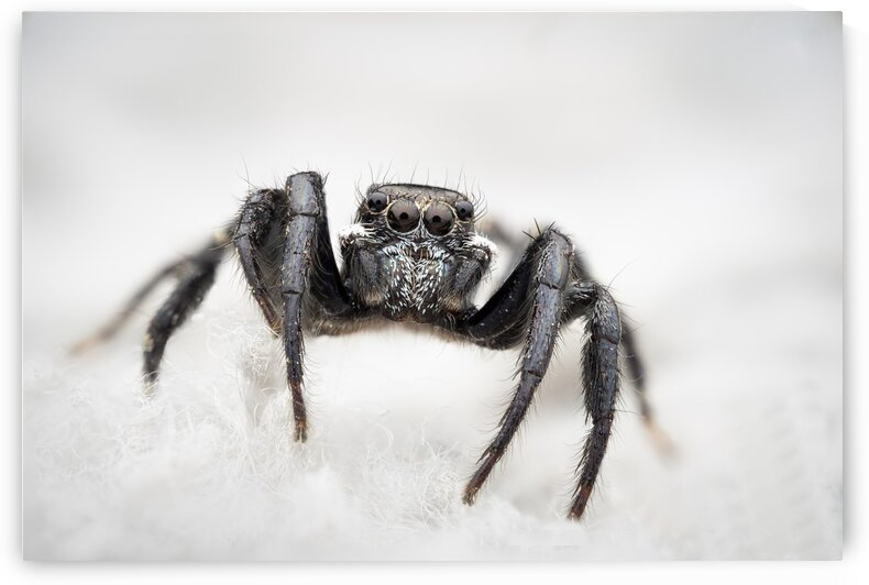Twinflagged Jumping Spider by MACRO HOBBY MIAMI