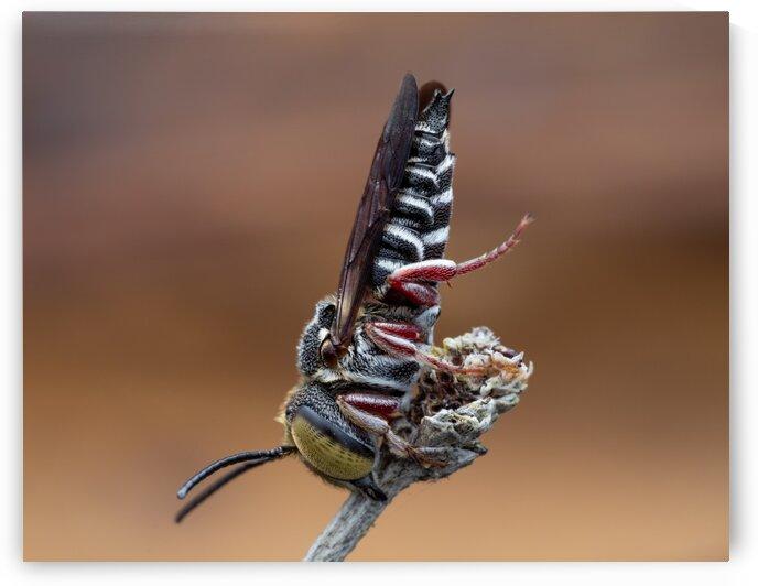 Cuckoo Leaf Cutter Bee by MACRO HOBBY MIAMI