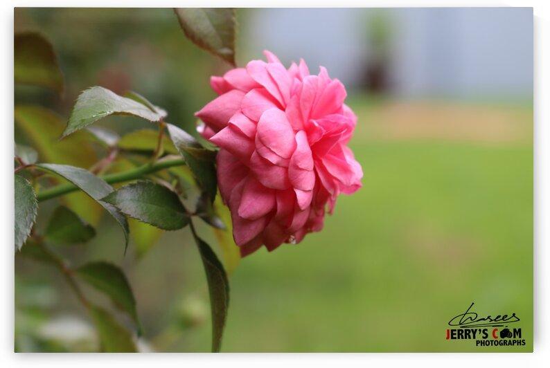 Beautiful Flower in Garden by Jerrys Studio