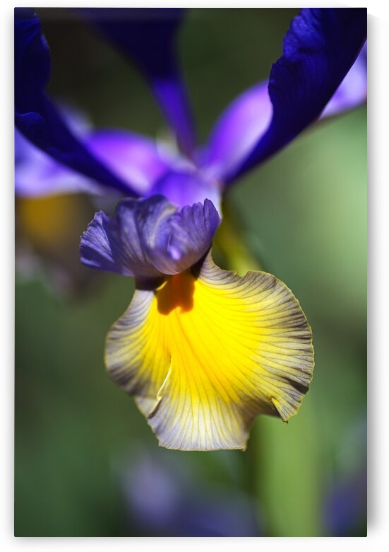 The Dancing Iris by Joy Watson