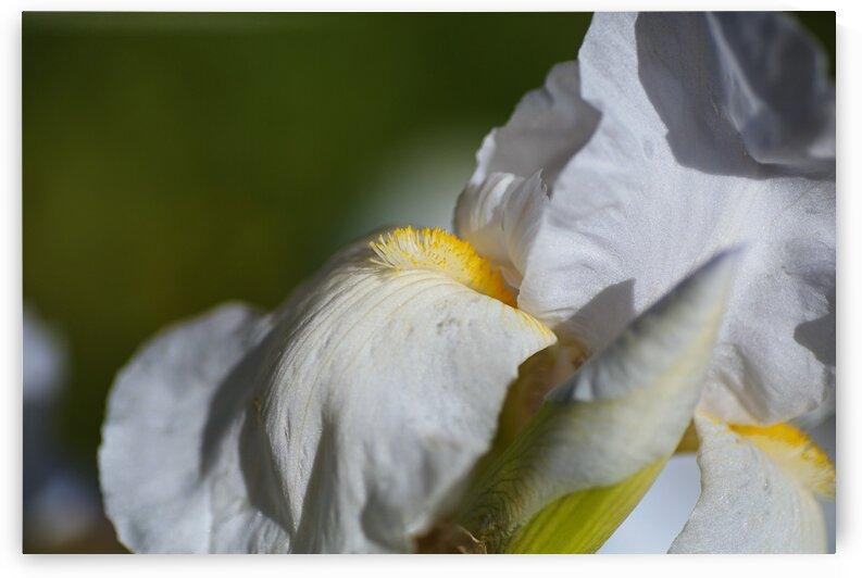 A Tall Bearded Iris White  by Joy Watson