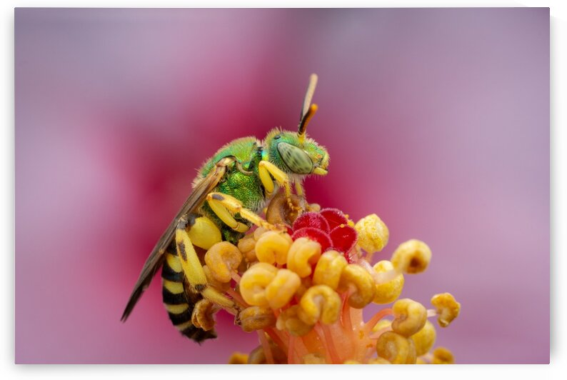 Sweat Bee by MACRO HOBBY MIAMI