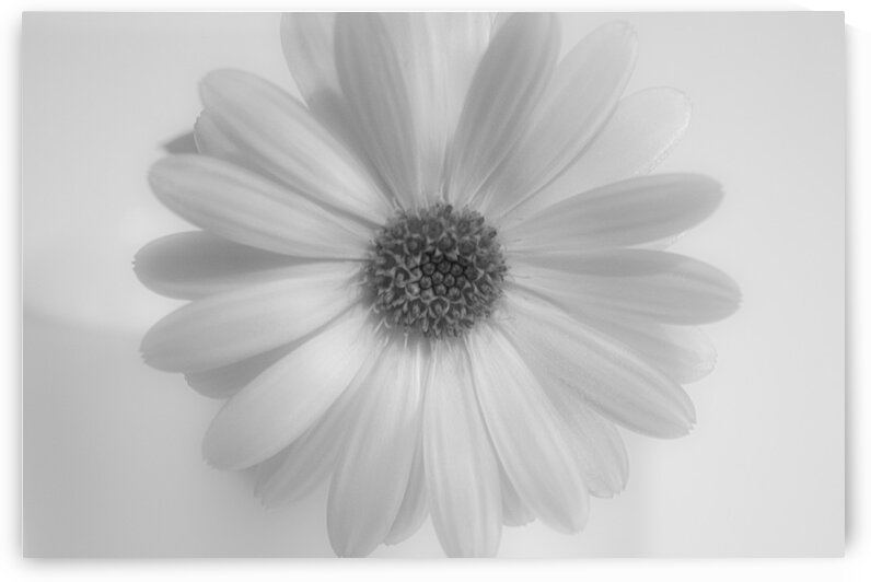 Daisy II Black and White by Joan Han